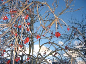 Winter berries on an American Cranberry Bush Viburnum