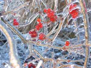 A red berried bush covered in ice
