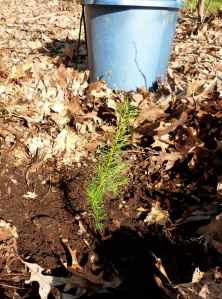 A freshly planted Douglas Fir seedling