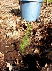 A freshly planted Douglas Fir seedling
